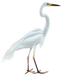 Цапля большая белая Птицы Туризм, охота и рыбалка в Челябинской ...
