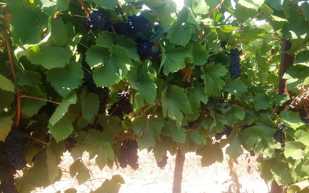 Виноградники Арианта