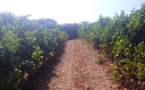 Челябинский «Ариант» увеличит площади своих виноградников на Кубани