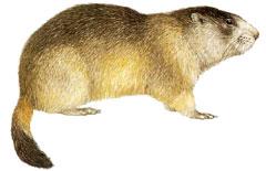 Вид степной сурок или байбак — marmota