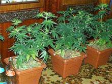 Выращивание конопли в домашних условиях
