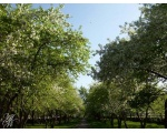 Коркино. Весеннее цветение