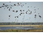 На хлебных полосах птицы обычно задерживаются часов до
