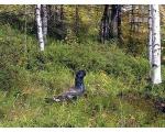 Глухарь в лесу (worldofanimals.ru)
