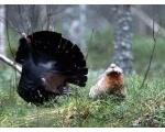 Брачное ухаживание глухарей (фото ingunavolok.ru)