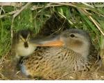 Гнездо серой утки (static12.photo.sina.com.cn)