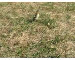 Птенец серой утки, Б. Лапташ, конец июня (фото Куделенского Олега, Челябинск)