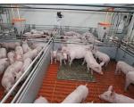 В Красногорском свинокомплексе агрохолдинга «Ариант»